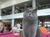 британская кошка Тайота