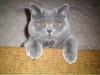 британская кошка Злата за диваном