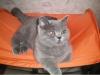 британская кошка Злата на палатке