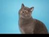 британский кот Зорро
