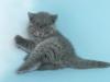 британский котик Зорро2